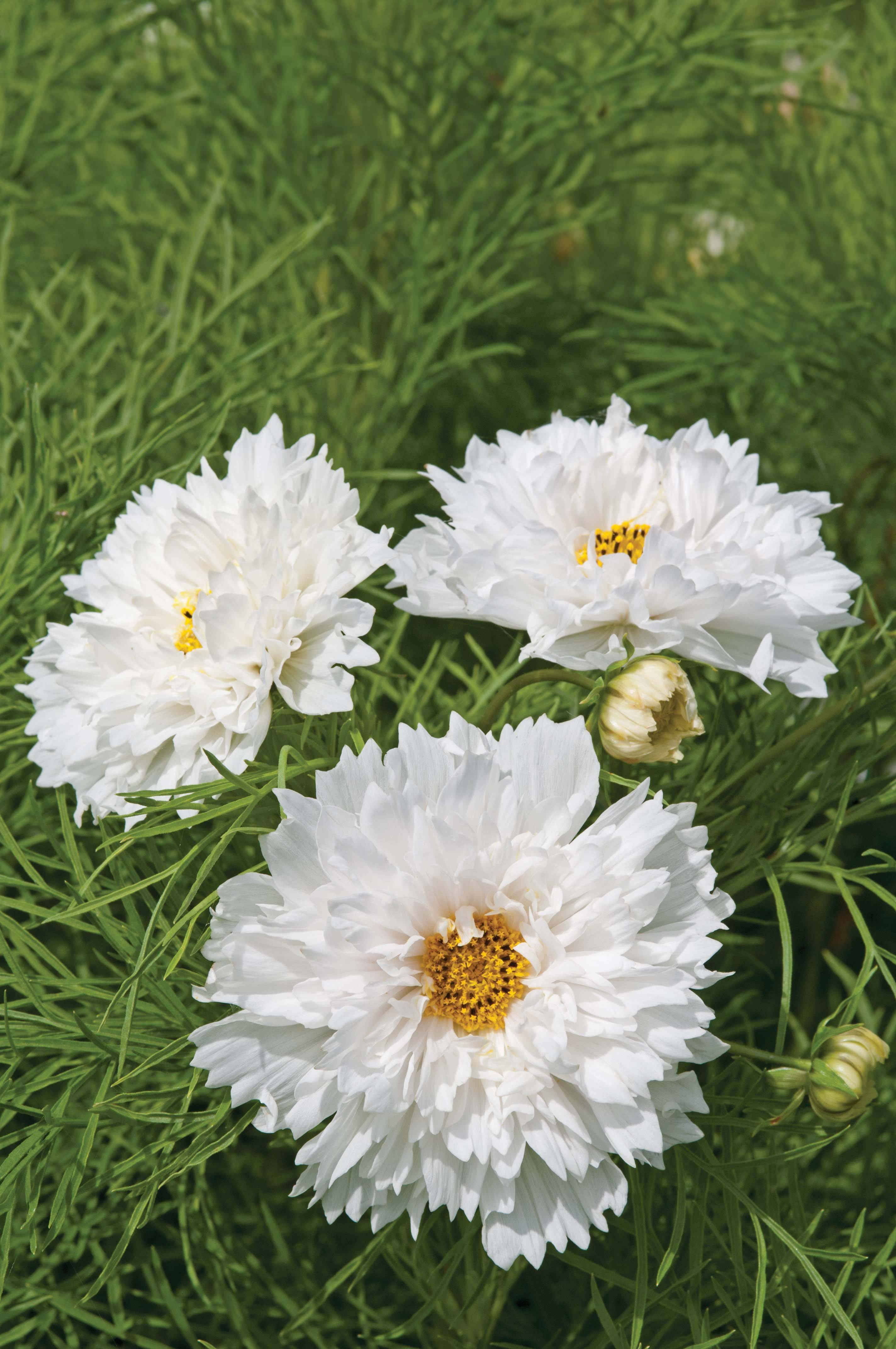 cosmos double dutch white